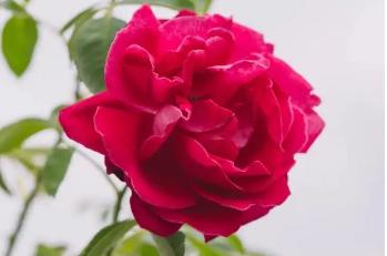 【春熙路太古里|玫瑰堂】高端鲜花蛋糕!1.1元起抢均价12元玫瑰堂·玫瑰/蜂蜜蛋糕!多种口味!