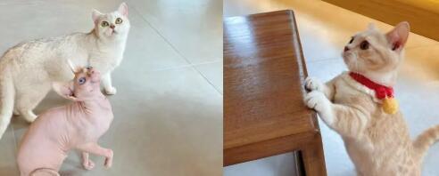 【雁塔区丨省体育场】猫咪这么可爱,怎么可以拒绝呢!¥29.9抢价值68「没有猫甜猫咖」单人撸猫套餐!擼猫券+饮品+和服体验!
