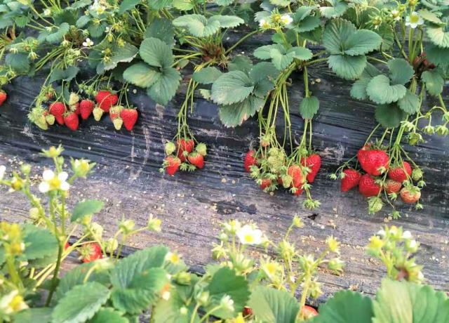 【巴南区|春节周末可用】山水牧歌有机无公害草莓高甜来袭!仅39.9元抢2大1小门票=草莓采摘1斤/可带走!